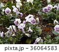 可愛い白と青の花は冬の花パンジー 36064583