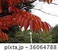 赤く色付いたハゼノ木の紅葉 36064788