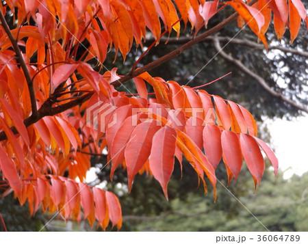 赤く色付いたハゼノ木の紅葉 36064789