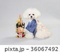 犬 門松 晴れ着の写真 36067492