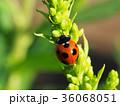 天道虫 てんとう虫 昆虫の写真 36068051