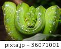 ニシキヘビ パイソン 緑の写真 36071001
