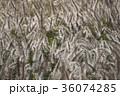 チカラシバ 力芝 秋の写真 36074285