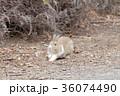 ウサギ 36074490