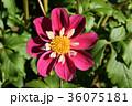 ダリア 花 テンジクボタンの写真 36075181