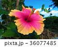 花 ハイビスカス 青空の写真 36077485