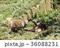 狸のキス 36088231