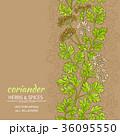 コリアンダー パクチー 香菜のイラスト 36095550