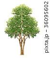 花梨のスケッチ カリンの精密植物画 カリンのイラスト 36095602