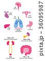 内臓 臓器 名称 36095987