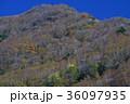 矢筈山麓ダケカンバ林1(徳島県三好市東祖谷山村) 36097935
