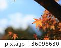 紅葉 イロハモミジ 葉の写真 36098630