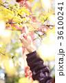 木の枝を触る女性の手 36100241