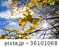 秋 葉 樹木の写真 36101068