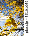 秋 葉 樹木の写真 36101069