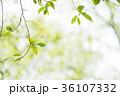 新緑 葉っぱ 背景の写真 36107332