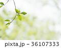 新緑 葉っぱ 背景の写真 36107333