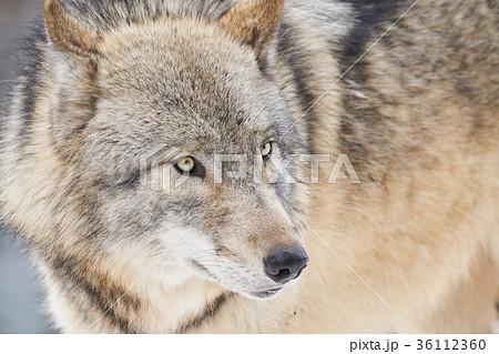 シンリンオオカミの顔 36112360