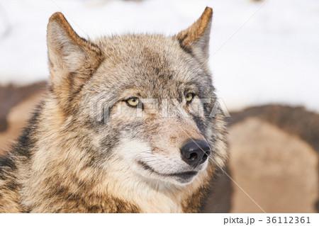 シンリンオオカミの顔 36112361