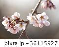 枝 花 桜の写真 36115927