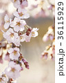 枝 花 桜の写真 36115929