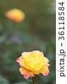 バラ 花びら 薔薇の写真 36118584