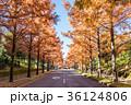 メタセコイア 並木道 秋の写真 36124806