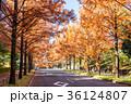 メタセコイア 並木道 秋の写真 36124807