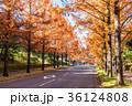 メタセコイア 並木道 秋の写真 36124808