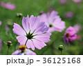 花 コスモス 秋桜の写真 36125168