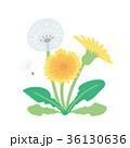 春 タンポポ イラスト 36130636