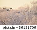 樹氷を背景に群れで飛ぶハクチョウ(北海道) 36131706