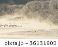 飛ぶ 丹頂 冬の写真 36131900