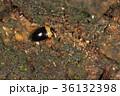 シベリアチビオオキノコ 虫 昆虫の写真 36132398
