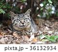 猫 野良猫 枯れ葉の写真 36132934