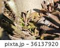 カランコエ/不死鳥錦 36137920
