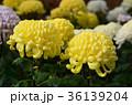 菊 花 黄色の写真 36139204