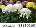 菊 花 菊花の写真 36139205