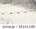 タンチョウ ツル 飛翔の写真 36141186