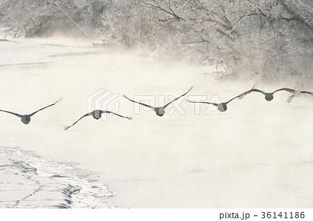 樹氷に囲まれたねぐらから飛び立つタンチョウ(北海道・鶴居) 36141186