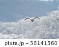 樹氷を背景に飛ぶハクチョウ(北海道) 36141360