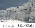 タンチョウ 樹氷 飛翔の写真 36145361