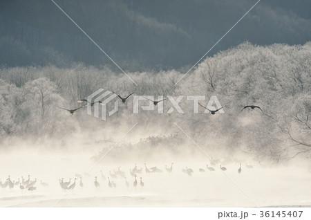 樹氷に囲まれたねぐらから飛び立つタンチョウ(北海道・鶴居) 36145407