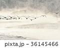 タンチョウ ツル 飛翔の写真 36145466
