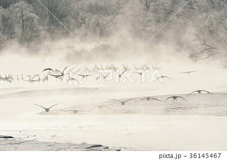 樹氷に囲まれたねぐらから飛び立つタンチョウ(北海道・鶴居) 36145467