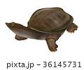 スッポン 鼈 爬虫類のイラスト 36145731