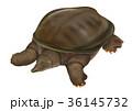 スッポン 鼈 爬虫類のイラスト 36145732