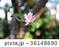 植物 カリン 花の写真 36148690