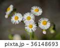 植物 ヒメジオン 花の写真 36148693