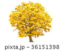 大ケヤキ黄金色 36151398